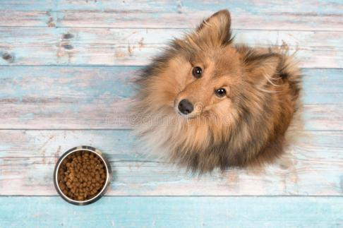 perro-pastor-de-shetland-visto-desde-arriba-de-la-mirada-para-arriba-con-el-cuenco-de-alimentación-lleno-delante-de-ella-en-un-95606572